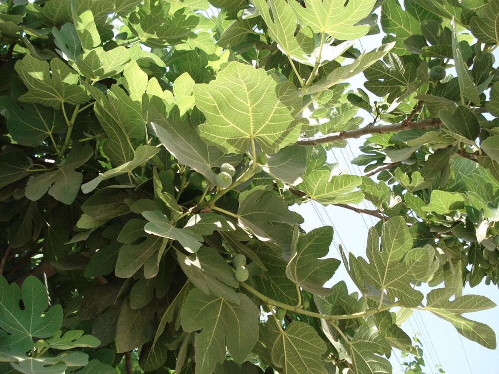 Figentræer med frugt